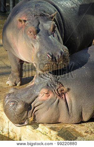 Hippopotamus In Barcelona Zoo
