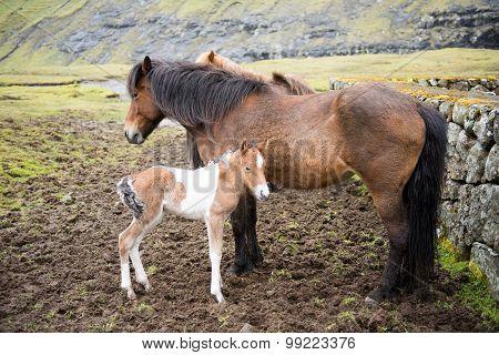 Horses On The Faroe Islands