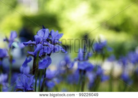 Blue Beauty. Iris