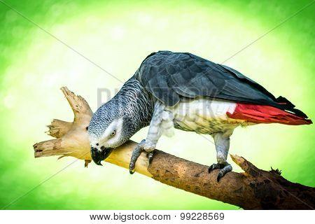 African Grey Parrot (psittacus-erithacus)