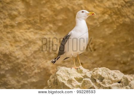 Seagull On A Rock Watching
