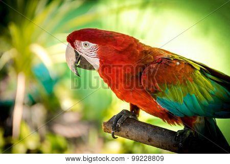Red-and-green Macaw (ara-chloropterus)