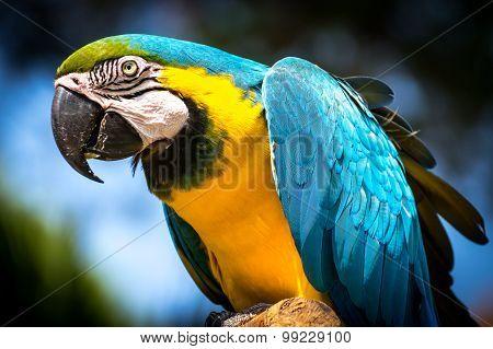 Blue-and-yellow Macaw (ara-ararauna)