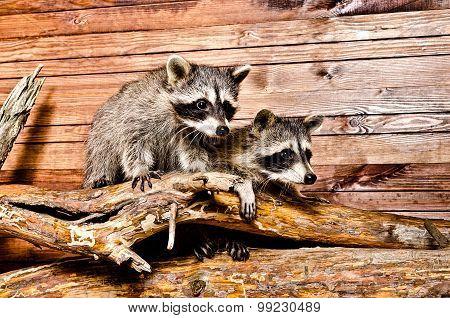 Two raccoon