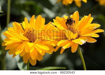 Summertime bumblebee