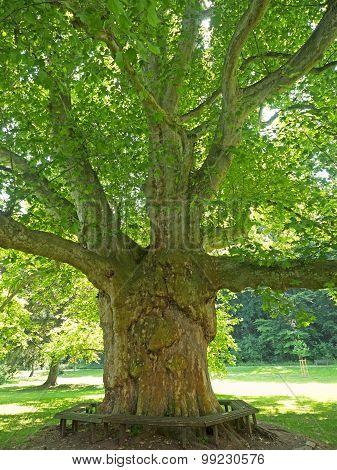 Old Plane Tree