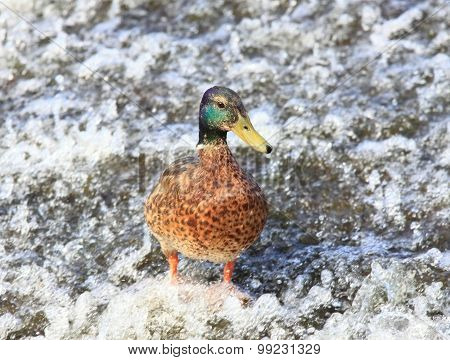 Male Of Wild Duck, Lat.  Anas Platyrhynchos