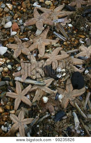 Lots of dead starfish after being stranded after a storm