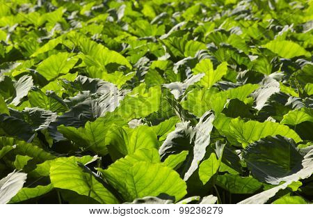 Aquatic Green Plants Leaves Forest In Sao Miguel, Azores. Portugal
