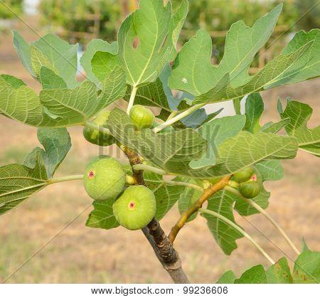 Fig On Common Fig Tree