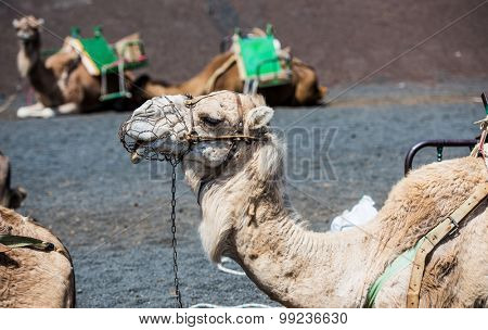 camel rests in the middle of the road