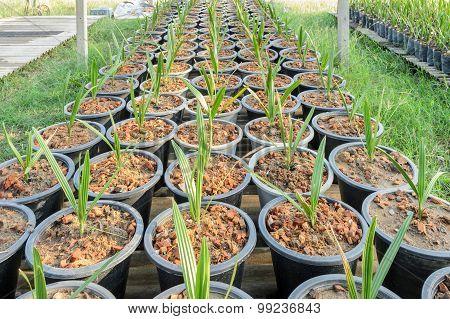 Date Plant In Nursery