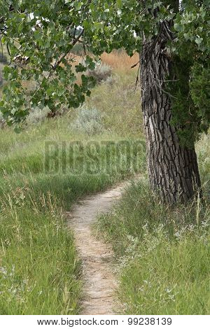 Bison Trail Under Cottonwood Tree