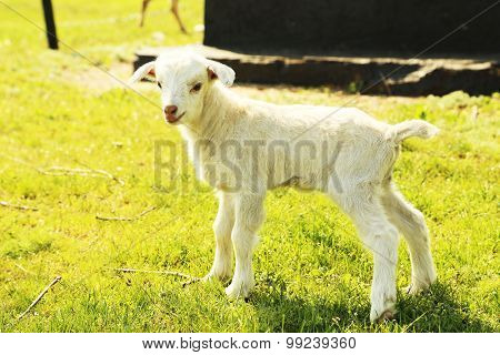 Young Goatling Outdoors