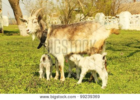 Young Goatling With Mother Outdoors