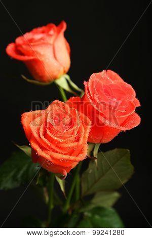 Beautiful rose