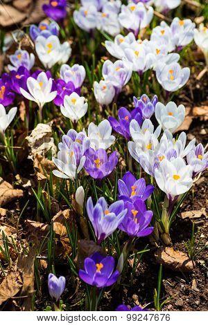 Crocus flowering in the early spring.