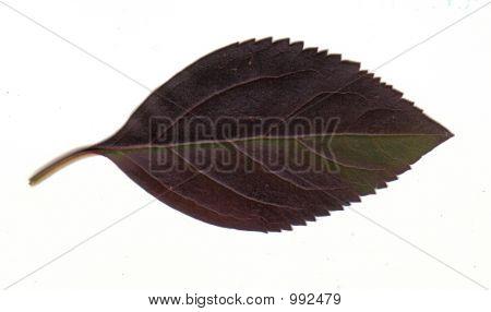 Purple And Green Fall Leaf