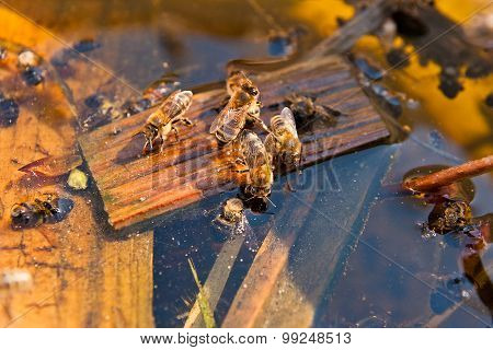 Bees Drinking Water In The Summer.