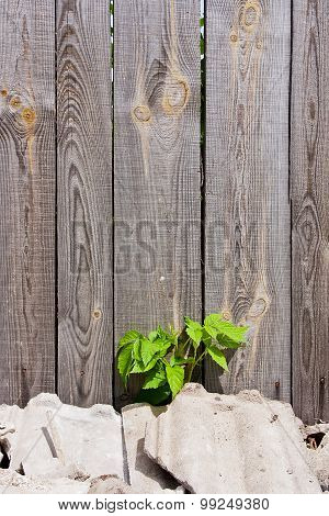 Foliage Raspberries On Vintage Wooden Background With Copy Space.