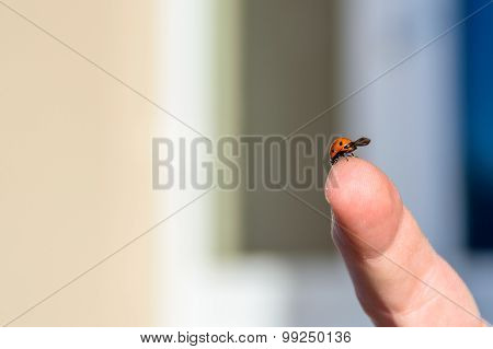 Ladybird On The Top Of A Finger