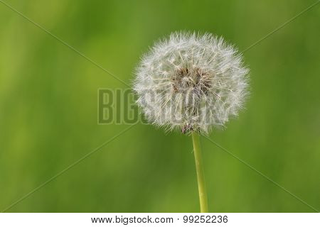 close up of blowball over green background