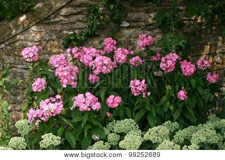 Pink and greenish white flowers against a wall