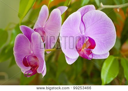 Some Flowers Blooming Phalaenopsis Orchid