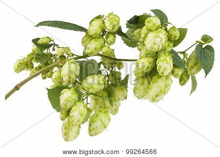 Branch Plants Hops With Leaves And Bumps