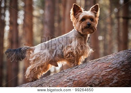 Male Yorkshire Terrier Dog In Forest