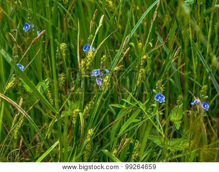 Flower Myosotis Arvensis