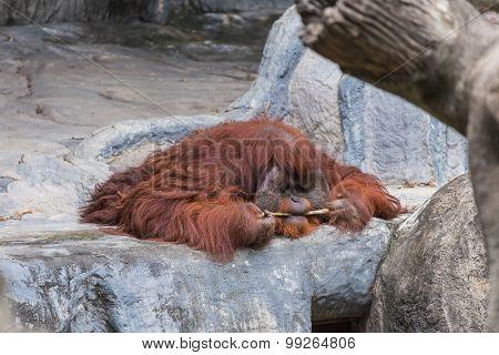 Orangutan Lie On The Rock.