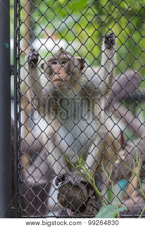 Monkey Climbing In The Cage