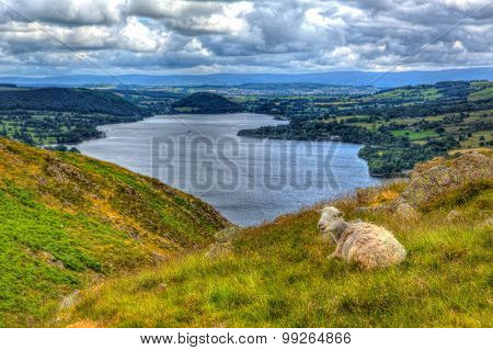 The Lake District Cumbria England UK sheep with elevated view of Ullswater in English countryside