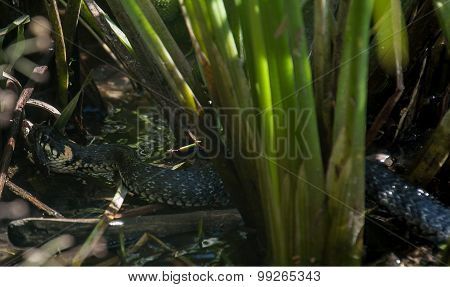 Snake(natrix Natrix) Caught A Frog
