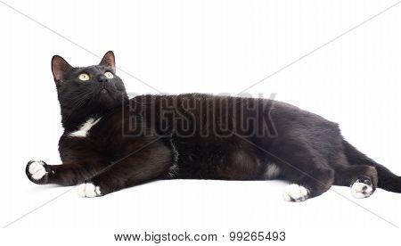 Black cat isolated