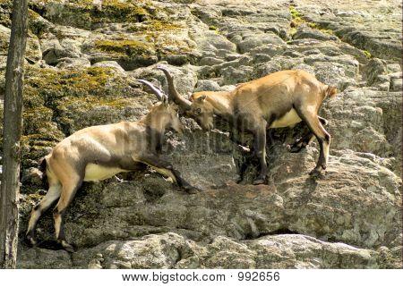Alpine Ibex 5 (01388)