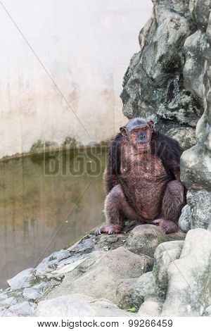 Chimpanzee Sitting On The Rock Beside The Pool.