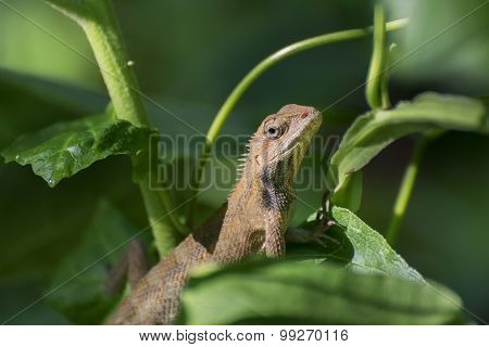 Indian Gecko Inside A Bush Looking Out ,  Kolkata, India