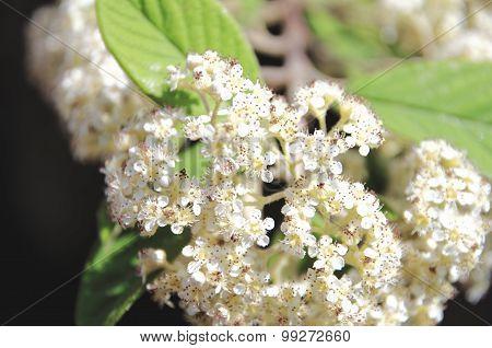 White flowers of Spiraea Japonica