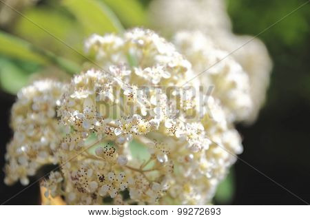 White flowers of Spiraea Japonica