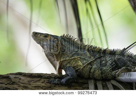 Wildlife, Black Ctenosaur In Costa Rica