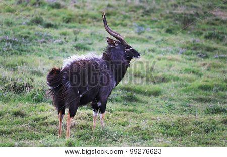 Wild African Nyala Buck