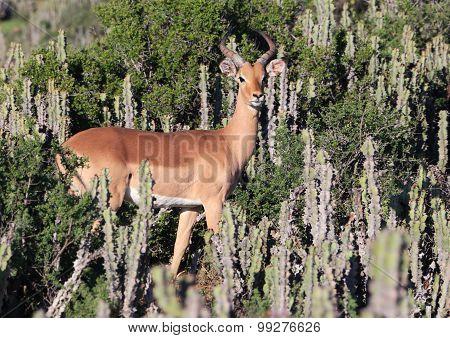 Wild African Impala Buck