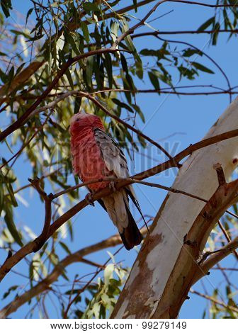 A pink and grey Galah