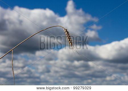 Stalk Wheat Background Sky