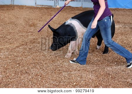 Woman Training Pig At The State Fair