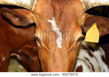 Confined Cow