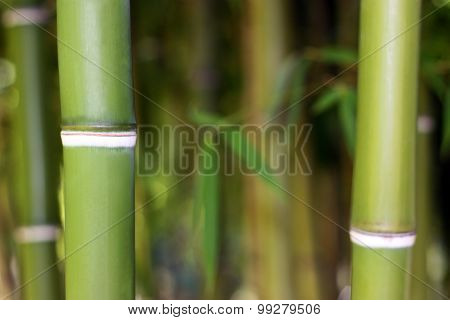 Young Green Bamboo Background