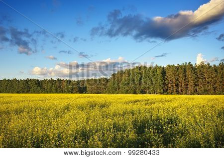 Beautiful landscape with field of yellow canola (Brassica napus L.) and blue sky